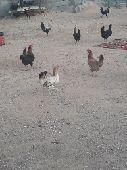 للبيع دجاج بلدي الاغلب بياض العدد20 مع الديوك