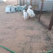 حرية معها خروف طيب