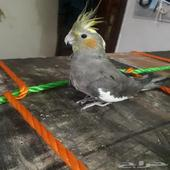 cockatiel pet