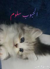 قطط ذكور شيرازية للبيع