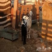 مطفل حري بنجدي - حفرالباطن