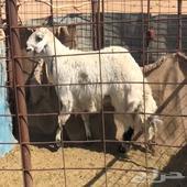 للبيع خروف طلي حري جذع