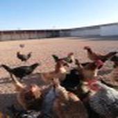 دجاج وديكه طيبات