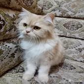 قطه مافقودها في حي النسيم الغربي شارع جبل اجا