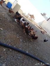 دجاج بلدي (تم البيع)