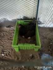 دجاج براهما بلو (تم البيع )