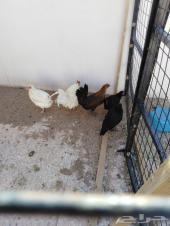 دجاج بلدي بياض رقاد