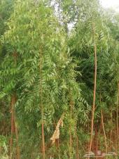 اشجار-أكاسيا جلوكا -بونسيانا  كميات للبيع