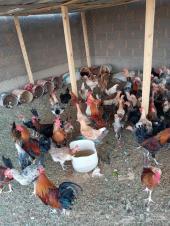 دجاج بياض للبيع عرعر