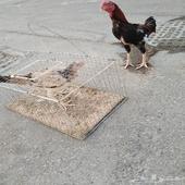 ديك دجاجه هندي