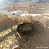 خروف ونعجتين دفيع