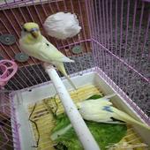 طيور حب بادجي للبيع