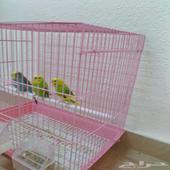 طيور حب مغرده مكه المكرمه حي العوالي