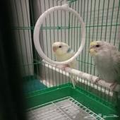 طيور حب او بادجي منتجين على الشرط