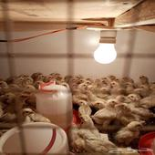 للبيع صوص دجاج فيومي المنيوم فاخر
