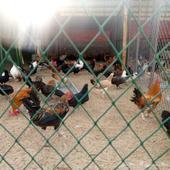 دجاج بلدي وصوص بلدي