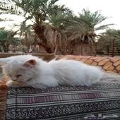 قط شيرازي من شهر إلى شهر ونص