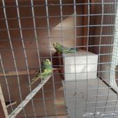 جوز طيور البادجي للبيع