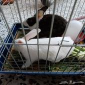 أرنب البيض فرنسي أصل واليف والثاني عادي