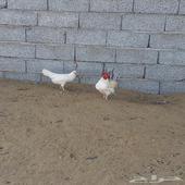 دجاج صيني قزم
