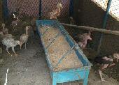 11 فرخ دجاج باكستاني حر للبيع العاجل