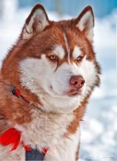 انقى سلالات الكلاب - نصائح  و استشارات مجانية