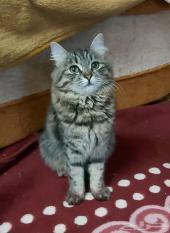 قطة شيرازي امريكي