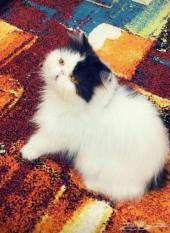 قطه فان بيرشن بيكي فيس