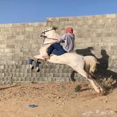 حصان شعبي شيخ حار