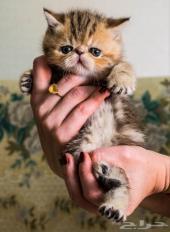 قطط اكزوت ( اكزوتيك )
