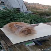 أرنب انقورا ذكر