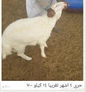 تيوس 550 حري 580 نعيم 650 شمال الرياض