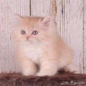 قطط للبيع (المتبقي الذكر )