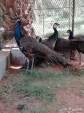 اجواز طاووس أزرق