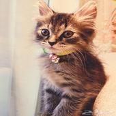 قطه شيرازي صغيره مع اغراضها