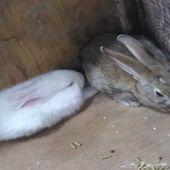 أرانب أليفه و نظيفه جدا بسعر ممتاز