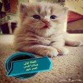 قطط شيرازيه وهملايا للبيع