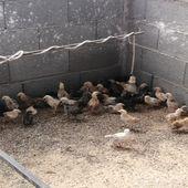 صيصان دجاج بلدي وفيومي مع بعض