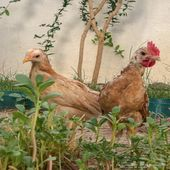 دجاج بلدي بعمر شهرين