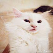 قطط شيرازي ابيض و بني ذكور