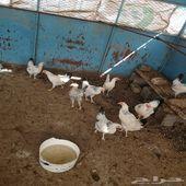 دجاج فرنسي كولومبي للبيع