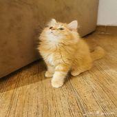 قطط شيرازي للبيع عمره شهرين