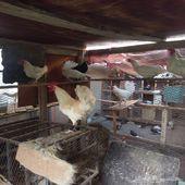 للبيع دجاج ابيض بلدي بياض وحضان