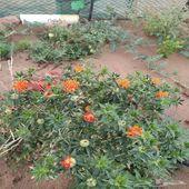 بذور نبات العصفر