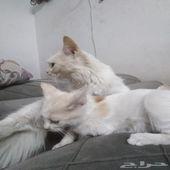 قطوتين شيرازي عمر سنه ونصف وعمر 3شهور