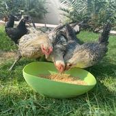 دجاج بلدي و فيومي للبيع بالأحساء