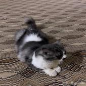 قطه شيرازي للتبني في مكة