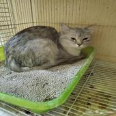 قطة شيرازي للبيع وليس للتبني