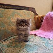 قطتين شيرازي عمر 45 يوم