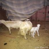 نعجه رباع مع ولدها   العيدابي